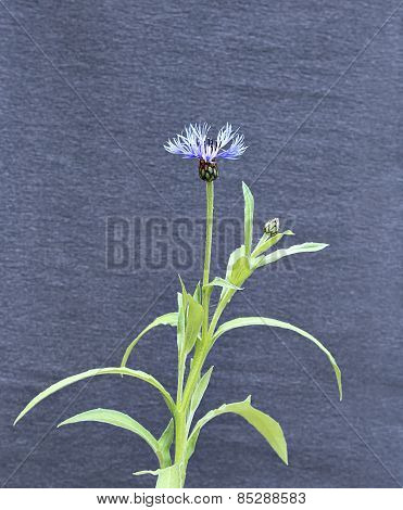 Flower Of Blue Cornflower Flower