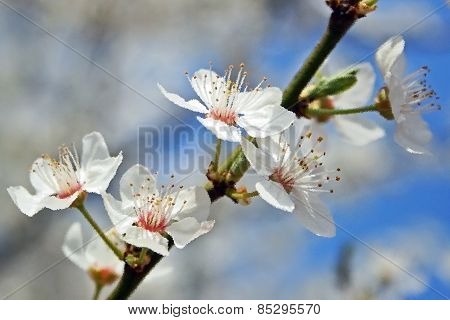 Branch With Apple Blossom In Pictorial Form