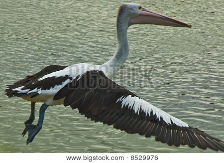 Giant Pelican Taking off