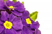 foto of primrose  - purple spring primroses on a white background - JPG