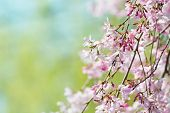 picture of green-blue  - Beautiful spring cherry blossom with flower buds - JPG
