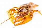 stock photo of crawfish  - boiled crawfish closeup isolated on a white background - JPG