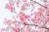 picture of sakura  - Pink cherry blossom  - JPG