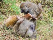 stock photo of lice  - Couple of baboons in the crater of Gorongoro Tanzania - JPG