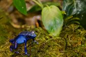 stock photo of biodiversity  - A close up of a Blue Poison Dart Frog - JPG