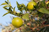 picture of orange-tree  - Fresh green oranges on tree - JPG