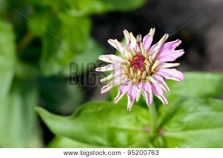 Young Pink Zinnia Flower