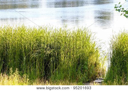 Reeds Close To The Lake