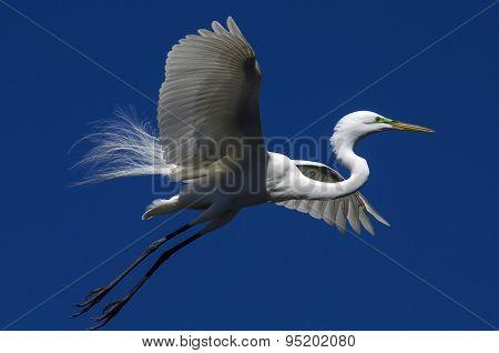 Breeding Egret Display