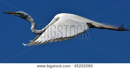 Great White Egret Gliding