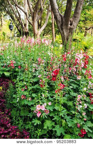 Beautiful Hollyhock Flowers in Garden in winter.