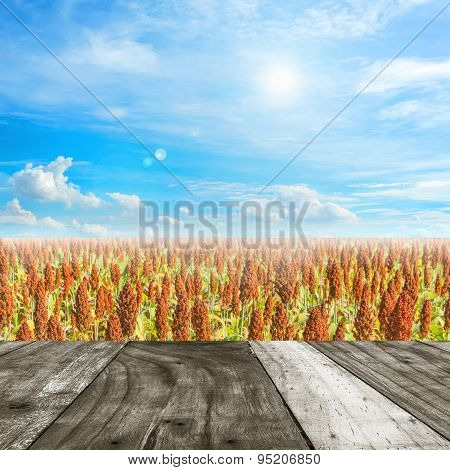 image of Sorghum plants in the field and blue sky background.