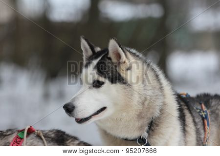 A brown eyes Siberian husky in harness.