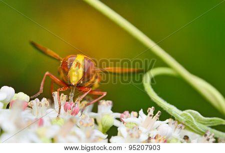 Wild Hornet