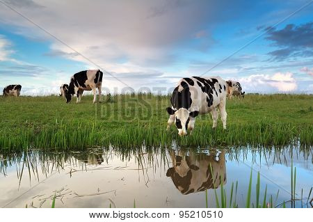 Cows Grazing On Pasture By River