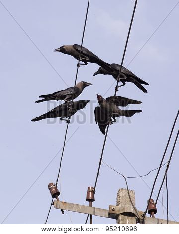 Crows On The Wires