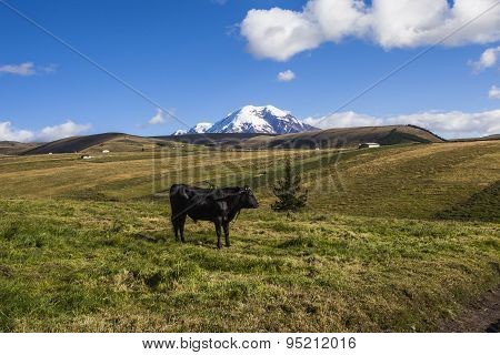 Pastures For Wild Cattle