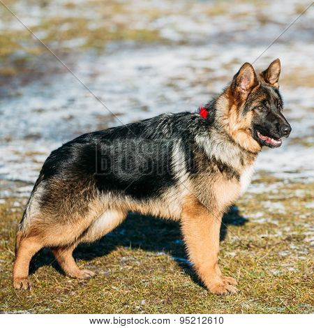 Beautiful Young Brown German Shepherd Puppy Dog Staying