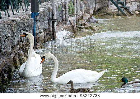 swans on Lake Garda