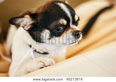 Chihuahua dog close up portrait