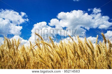 Summer View Of Ripe Wheat.