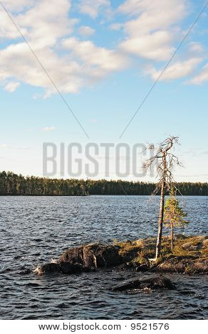The Dried Up Pine On Lake