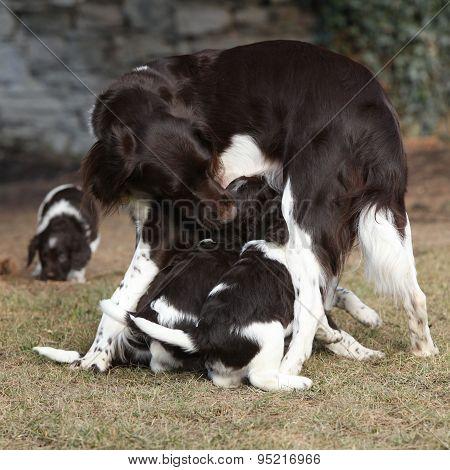 Small Munsterlanderbitch With Puppies