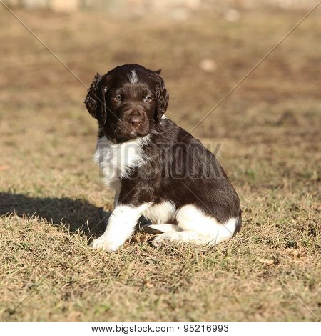 Puppy Of Small Munsterlander