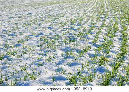Grain Field In Winter
