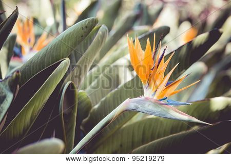 Strelitzia Reginae, A Bird Of Paradise