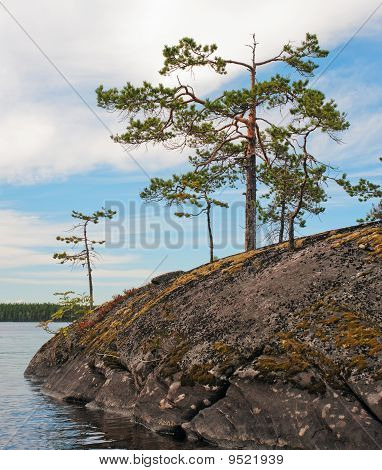 Small Pines On A Rock