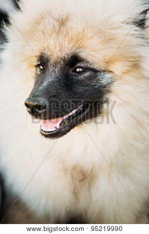 Gray Keeshound, Keeshond, Keeshonden Dog German Spitz Wolfspitz