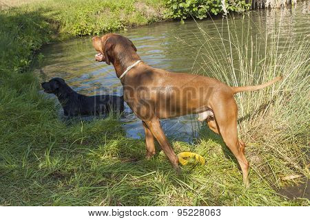 Hot summer day in rural pond. Madara hound standing wet in the pond.