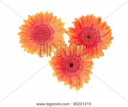 Three Orange Gerberas