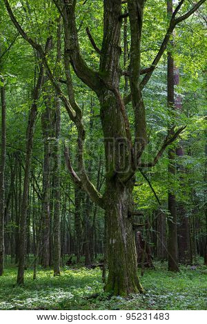 Old Monumental Hornbeam Tree(carpinus Betulus)