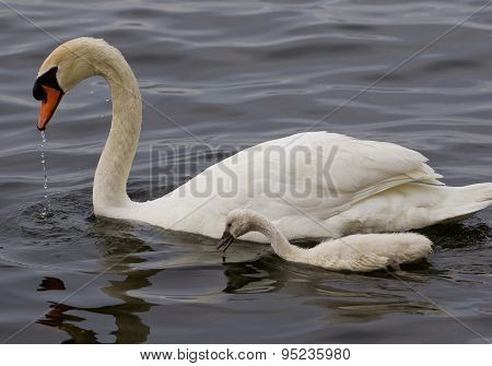 The Mute Swan And His Youn Son Are Swimming Together