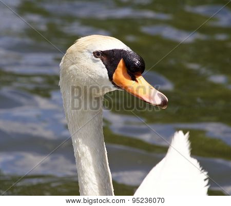 The Close-up Of The Male Mute Swan In The Lake