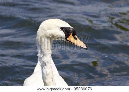 Beautiful Confident Female Mute Swan's Portrait