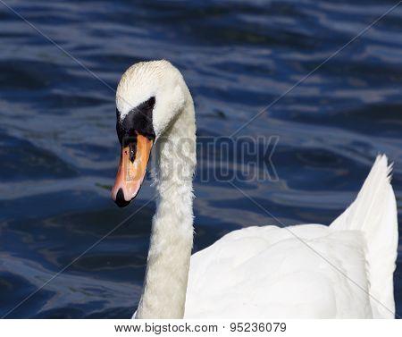 The Beautiful Female Mute Swan Is Swimming Somewhere