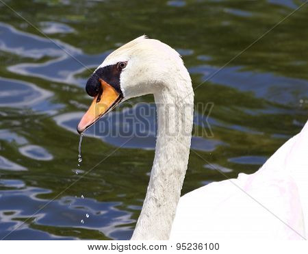 The Portrait Of The Thoughtful Mute Male Swan Drinking The Water