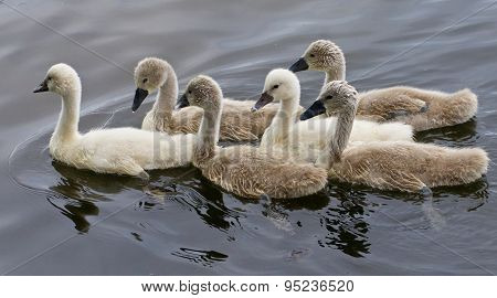 Six Young Mute Swans Are Swimming Together