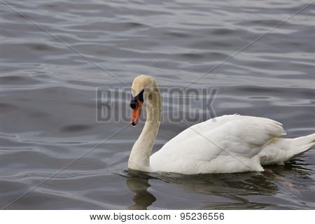 The Background With The Mute Swan Swimming In The Lake