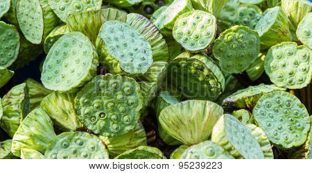 Green Lotus Flower For Sale.