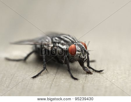 Common Housefly Macro