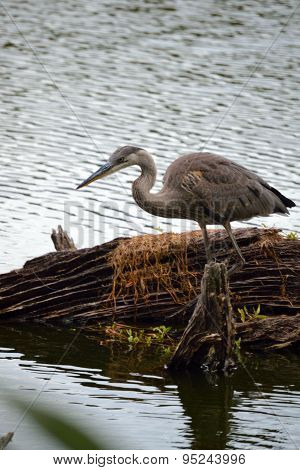 Great Blue Heron in front of a log