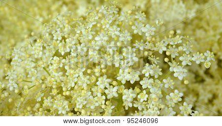 Blossom Elderberry