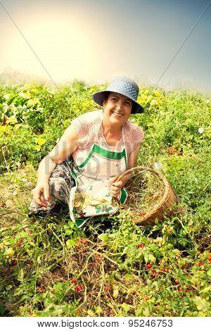 Senior Woman Picking Cherry Tomatoes