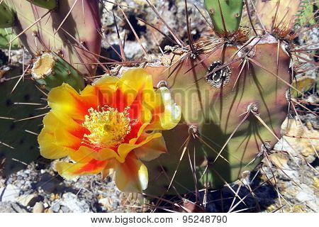 Yellow and orange prickly-pear cactus flower