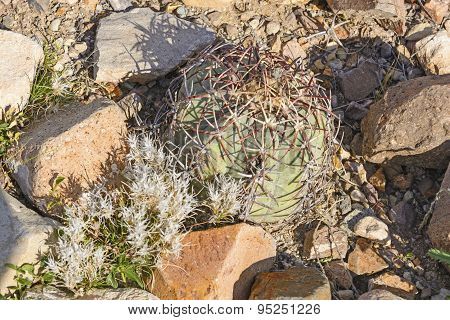 Turk's Head Cactus In The Texas Desert