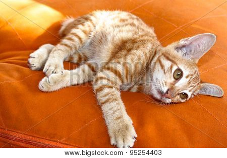 Red Playful Kitten
